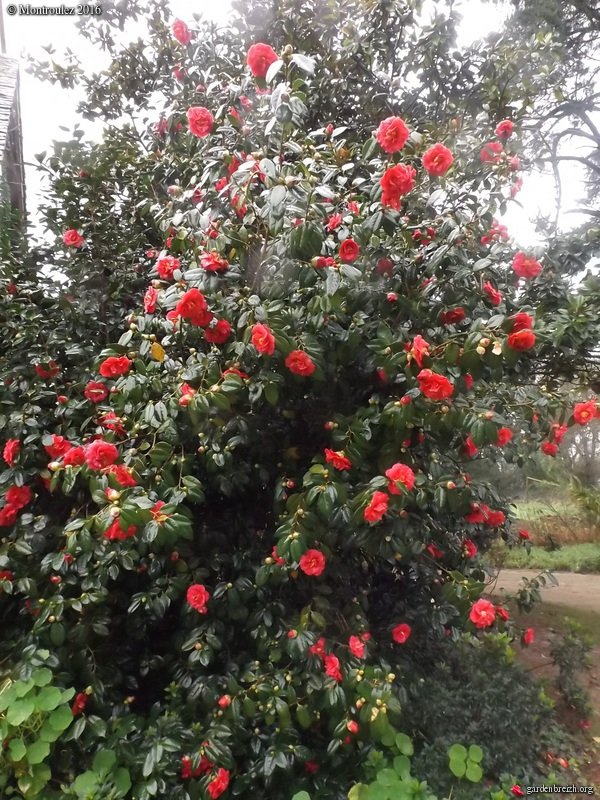 Camellia , saison 2015 - 2016 - Page 2 GBPIX_photo_703108