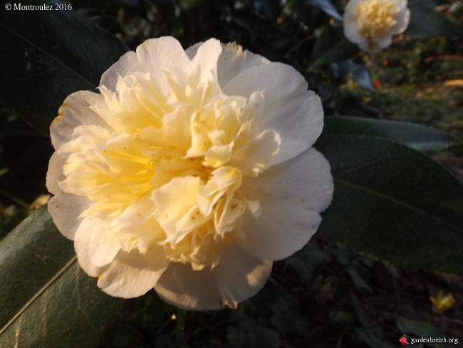Camellia , saison 2015 - 2016 - Page 2 GBPIX_photo_705102