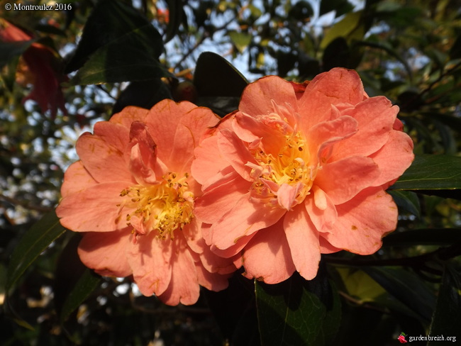 Camellia , saison 2015 - 2016 - Page 2 GBPIX_photo_705106