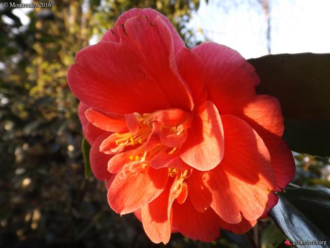 Camellia , saison 2015 - 2016 - Page 2 GBPIX_photo_705107