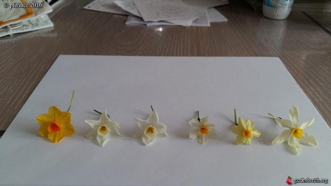 Narcissus tazetta et hybrides horticoles GBPIX_photo_705240