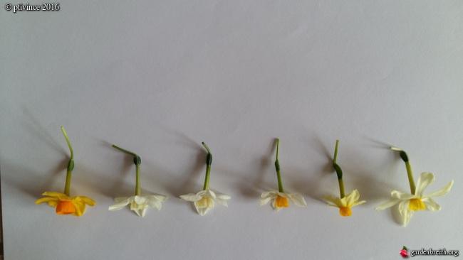 Narcissus tazetta et hybrides horticoles GBPIX_photo_705241