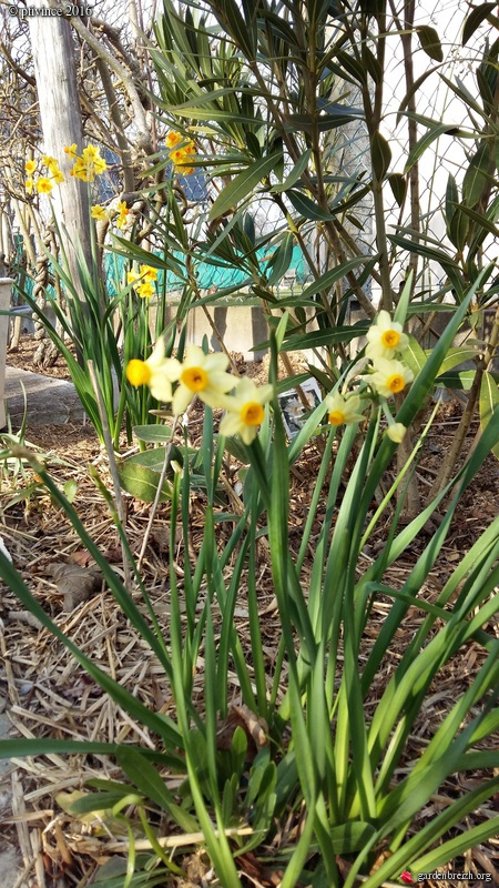 Narcissus tazetta et hybrides horticoles GBPIX_photo_705242