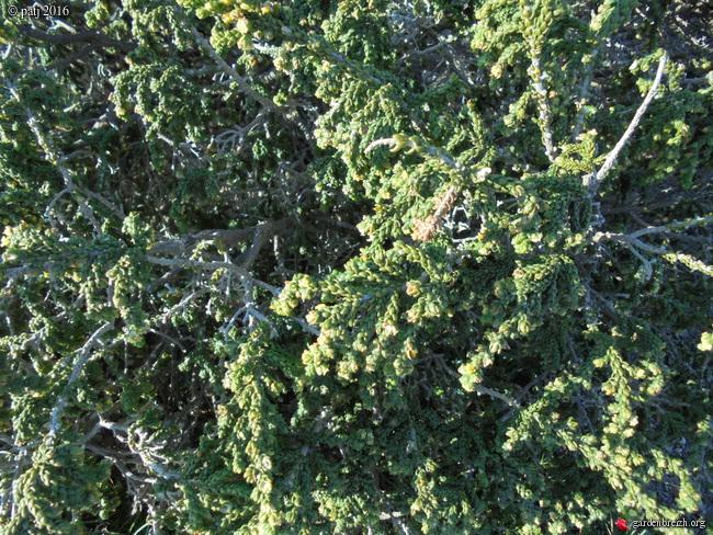 Thymelea hirsuta  GBPIX_photo_706025