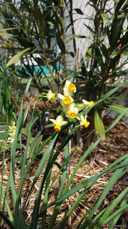 Narcissus tazetta et hybrides horticoles GBPIX_photo_707483