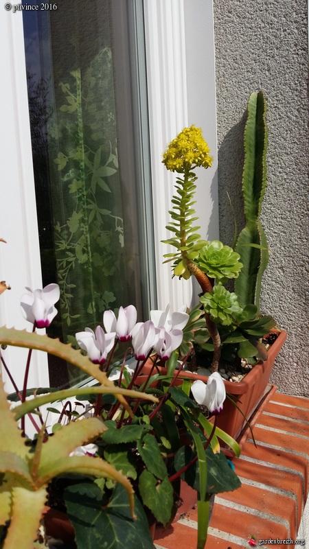 Cyclamen persicum et hybrides GBPIX_photo_707487
