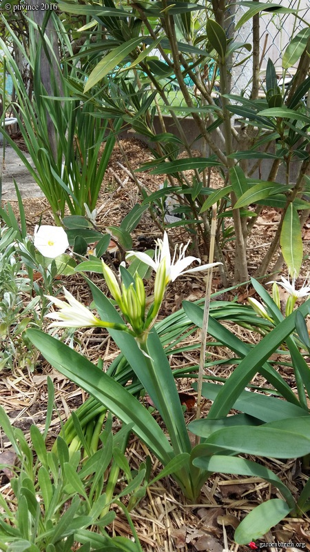 Pancratium illyricum GBPIX_photo_709914