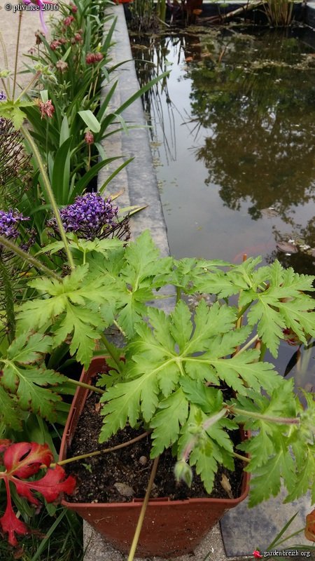 Geranium palmatum GBPIX_photo_710278