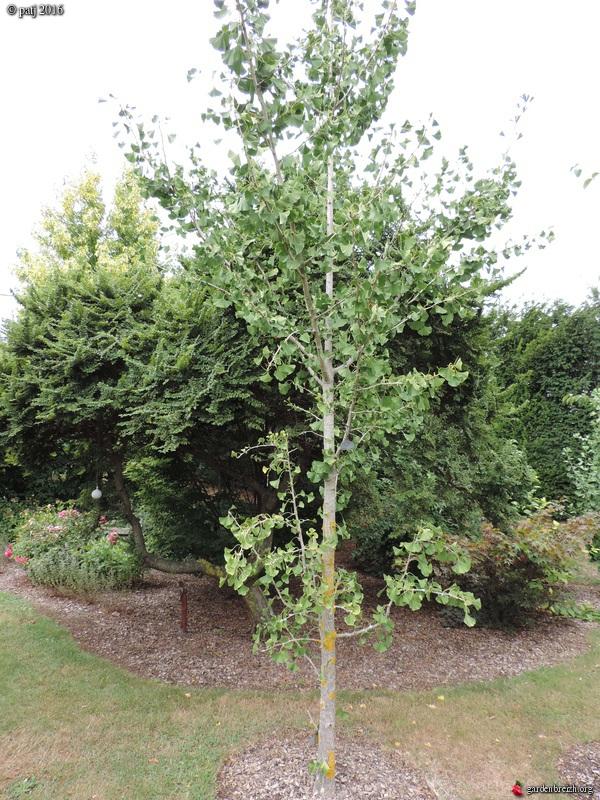 Ginkgo biloba - arbre aux quarante écus - Page 7 GBPIX_photo_722680