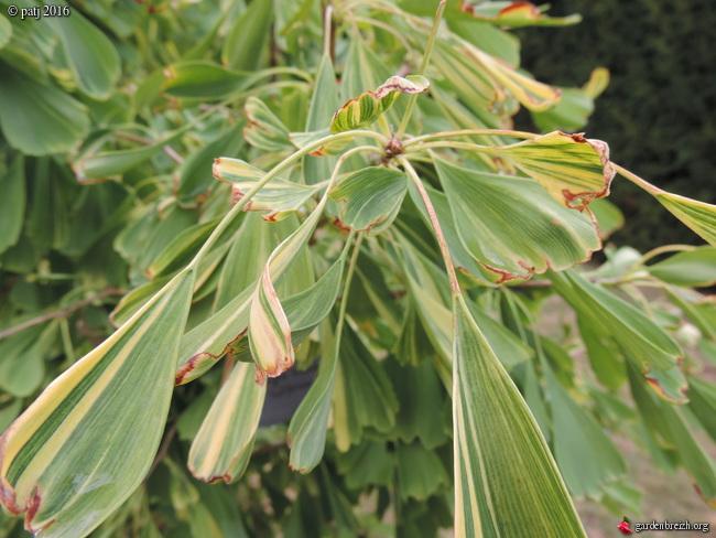 Ginkgo biloba - arbre aux quarante écus - Page 7 GBPIX_photo_722949