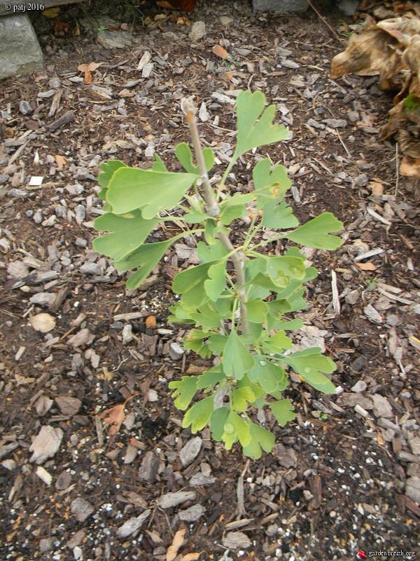 Ginkgo biloba - arbre aux quarante écus - Page 7 GBPIX_photo_722958