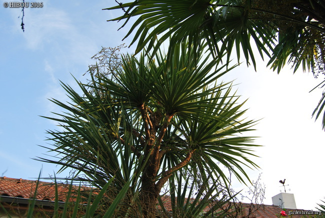 Cordyline australis GBPIX_photo_726027