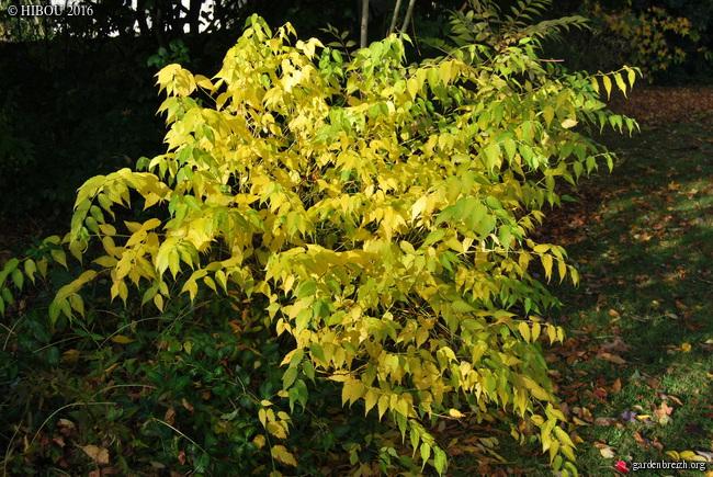 Kerria japonica - corète du Japon - Page 2 GBPIX_photo_727591