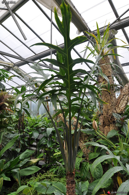 Alocasia brancifolia  GBPIX_photo_728375