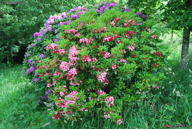 Kalmia latifolia - kalmie à feuilles larges  GBPIX_photo_730572