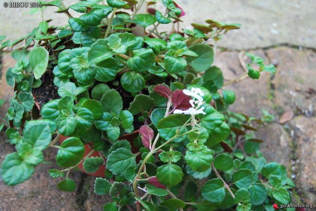 Plectranthus verticillatus, Helichrysum orientale, Salvia corrugata -  [identifications] GBPIX_photo_730649