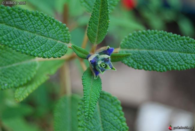 Plectranthus verticillatus, Helichrysum orientale, Salvia corrugata -  [identifications] GBPIX_photo_730675