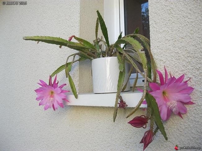 Epiphyllum - floraisons - Page 3 GBPIX_photo_731109