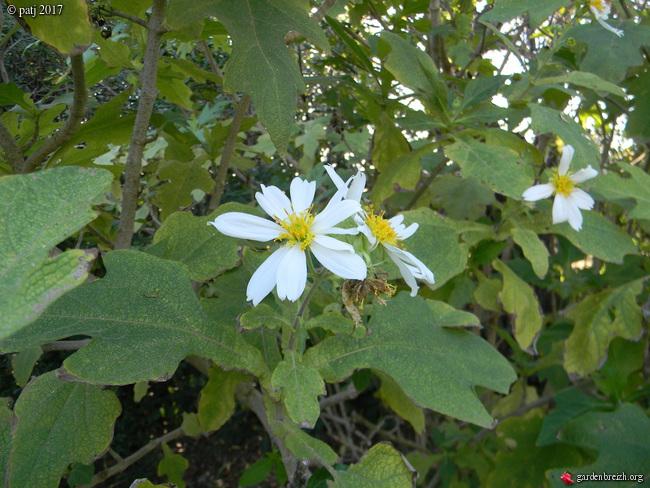 Montanoa hibiscifolia - arbre à marguerites - Page 2 GBPIX_photo_732689
