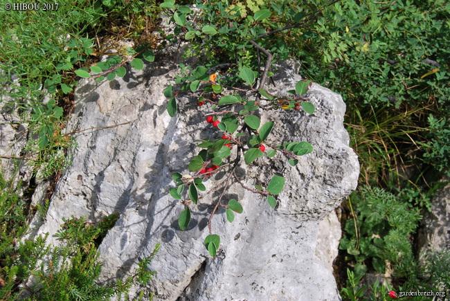 Cotoneaster sp., Dictamnus album, Trifolium rubens, Asperula ?, Cytisus sp. [identification no terminée] GBPIX_photo_733313