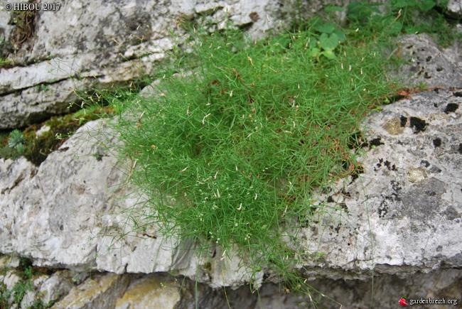 Cotoneaster sp., Dictamnus album, Trifolium rubens, Asperula ?, Cytisus sp. [identification no terminée] - Page 2 GBPIX_photo_733347