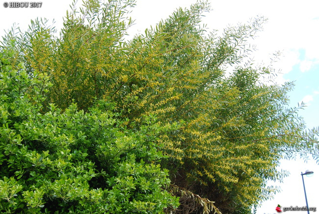 Acacia longifolia GBPIX_photo_737798