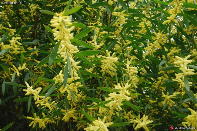 Acacia longifolia GBPIX_photo_737799