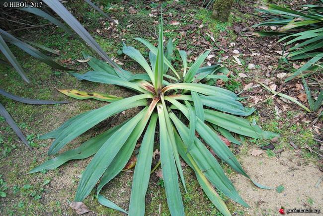 Beschorneria yuccoides - Page 3 GBPIX_photo_738825