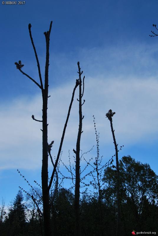 Aralia undulata GBPIX_photo_739645