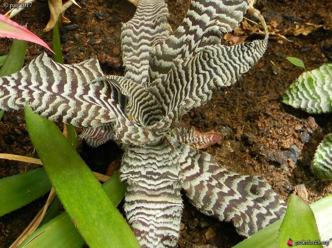 Cryptanthus zonatus GBPIX_photo_742305