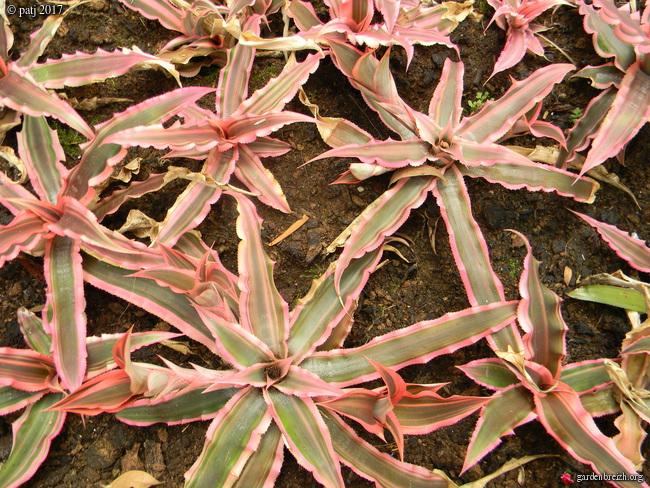 Cryptanthus bivittatus 'Pink Starlite' GBPIX_photo_742306