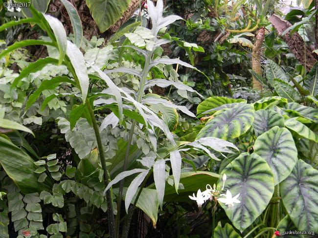 Alocasia brancifolia  GBPIX_photo_745327