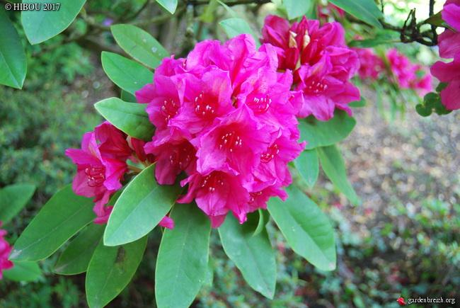 Rhododendron cv. ? [identification à suivre] GBPIX_photo_745978