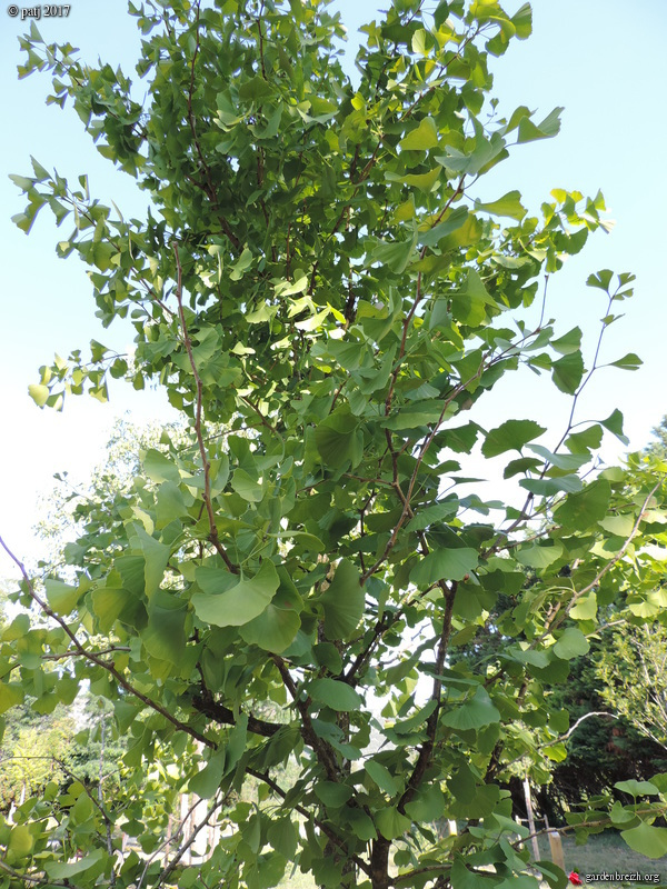 Ginkgo biloba - arbre aux quarante écus - Page 7 GBPIX_photo_751601
