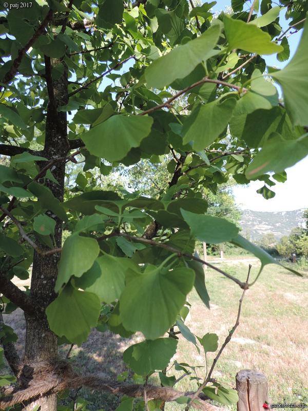 Ginkgo biloba - arbre aux quarante écus - Page 7 GBPIX_photo_751602