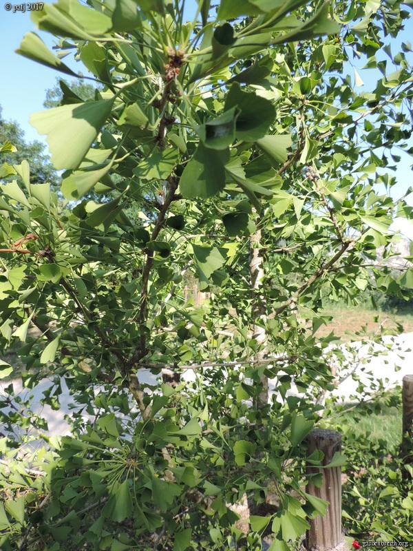 Ginkgo biloba - arbre aux quarante écus - Page 9 GBPIX_photo_751705