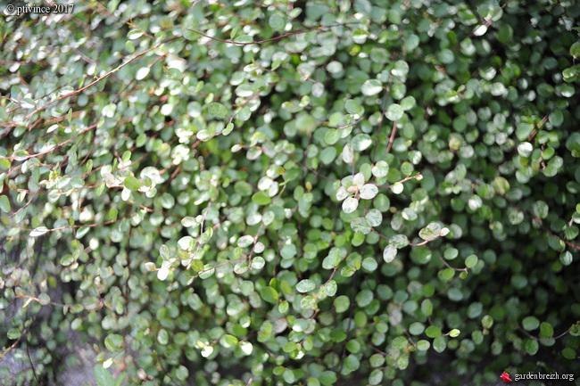 Muehlenbeckia - le genre  - Page 2 GBPIX_photo_755025