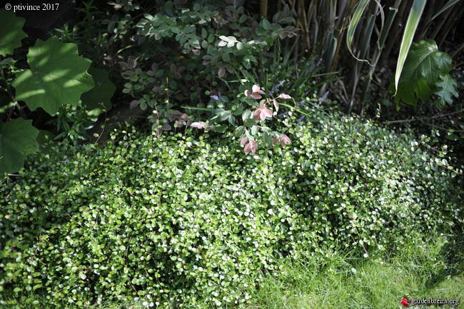 Muehlenbeckia - le genre  - Page 2 GBPIX_photo_755026