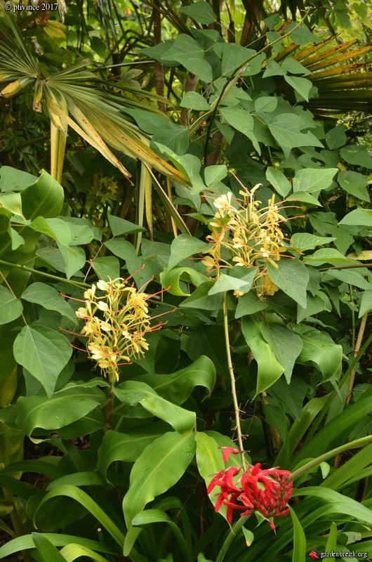 Hedychium gardnerianum GBPIX_photo_755990