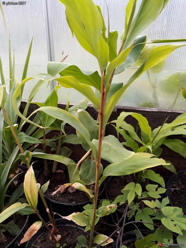 Hedychium sp., Graptoveria 'Fred Ives' [Identification à suivre] GBPIX_photo_758131