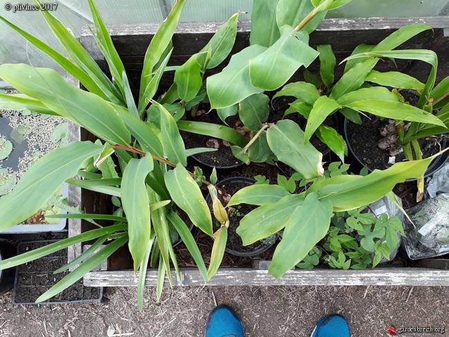 Hedychium sp., Graptoveria 'Fred Ives' [Identification à suivre] GBPIX_photo_758132