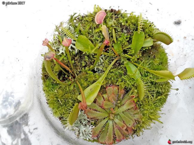 plantes carnivores rustiques - climat tempéré frais  - Page 6 GBPIX_photo_761814