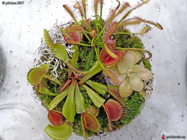 plantes carnivores rustiques - climat tempéré frais  - Page 6 GBPIX_photo_761815
