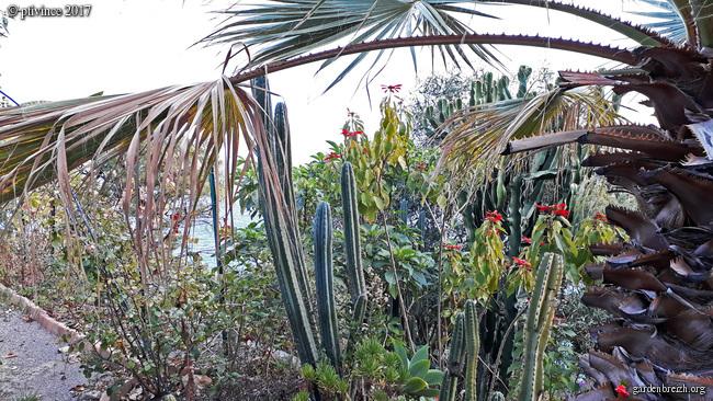 Euphorbia pulcherrima (= Poinsettia pulcherrima) - étoile de noël - Page 2 GBPIX_photo_766636