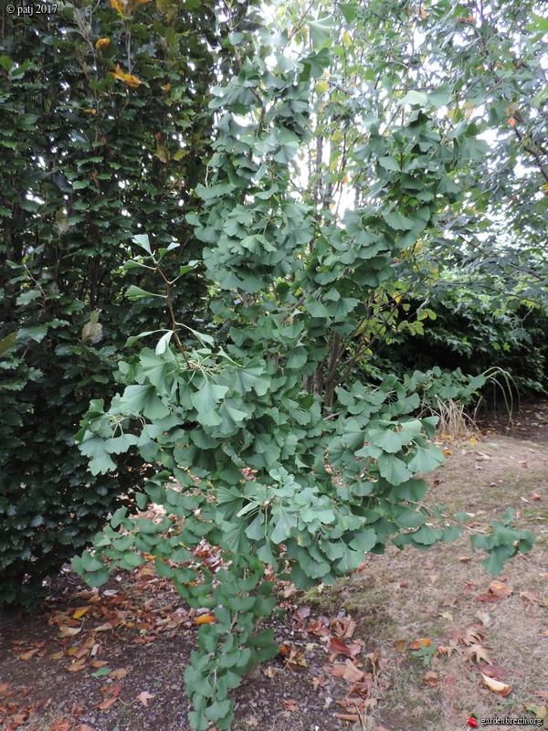 Ginkgo biloba - arbre aux quarante écus - Page 7 GBPIX_photo_766780