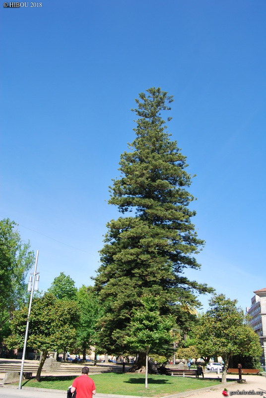 Araucaria heterophylla - pin de Norfolk GBPIX_photo_770802