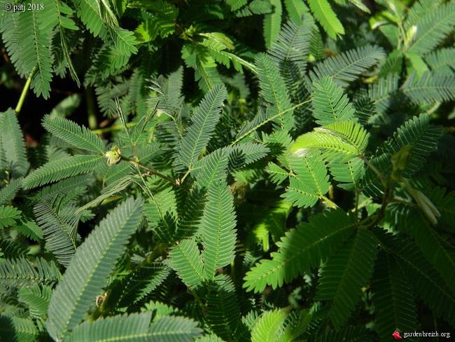 Mimosa polycarpa 'Spegazzinii' GBPIX_photo_770880