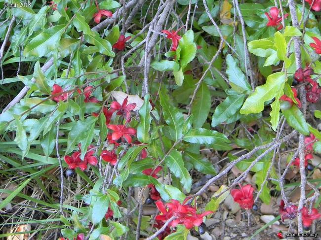 *Ochna* - Ochna serrulata - plante à Mickey GBPIX_photo_772717