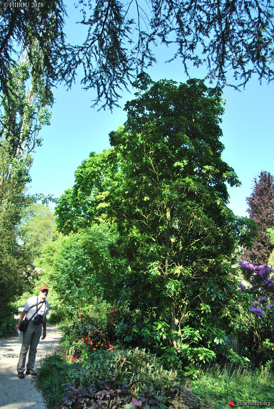 Trochodendron aralioides GBPIX_photo_773252