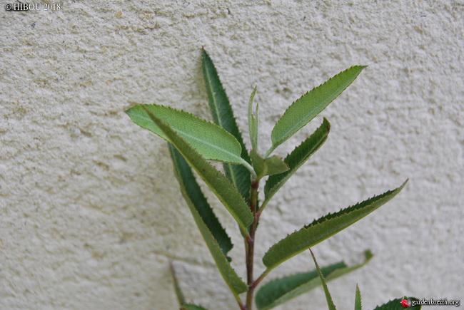purshia - Chamaebatiaria millefolium, Vauquelinia californica, Purshia mexicana [devinettes] GBPIX_photo_778406
